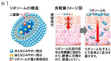 リボソームの構造・角質層イメージ図